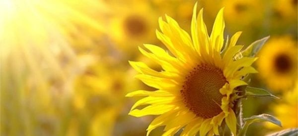 Sunflower-in-sunshine