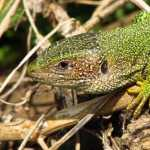 Ancient Lizards- Detaching Tails to Avoid Being Eaten! 16