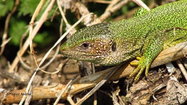 Ancient Lizards- Detaching Tails to Avoid Being Eaten! 1