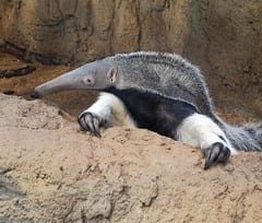 The Top 25 Things to Know about Anteaters 12