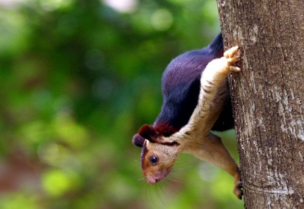 Indian Giant Squirrels -God's Beautiful Creation 62