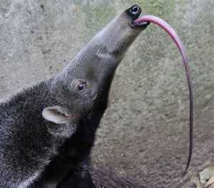 The Top 25 Things to Know about Anteaters 10