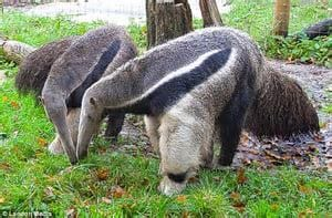 The Top 25 Things to Know about Anteaters 27
