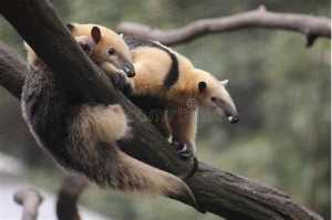 The Top 25 Things to Know about Anteaters 5