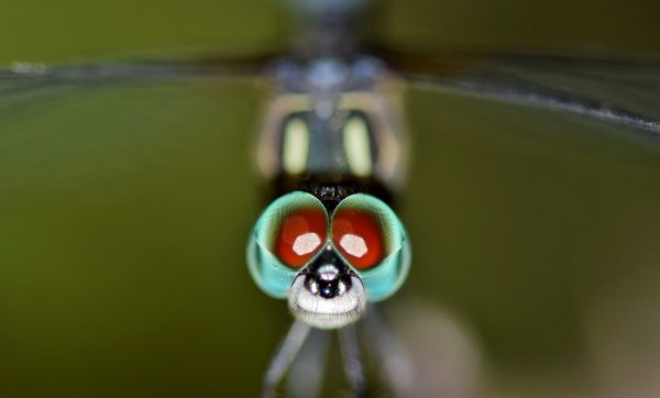 Brilliant Optical Devices of Nature: Jewels in eyes of Insects 7