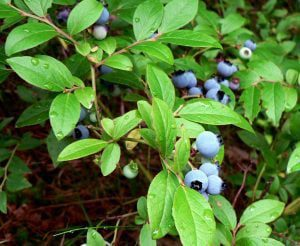 All About Wild Maine BlueBerries 3