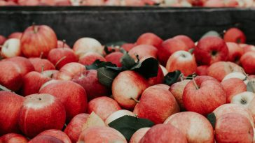 Apple Picking NC : 10 Best Orchards 21